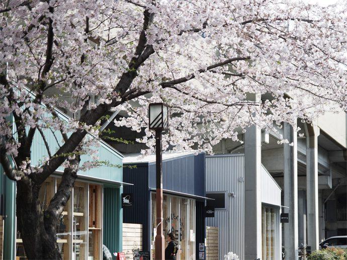 【SAKUMACHI商店街】尼ヶ坂、SAKUMACHI商店街 桜が満開です